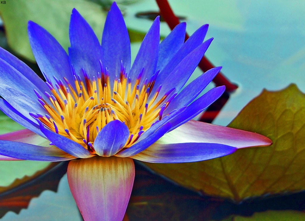 A Perfect Water Lily