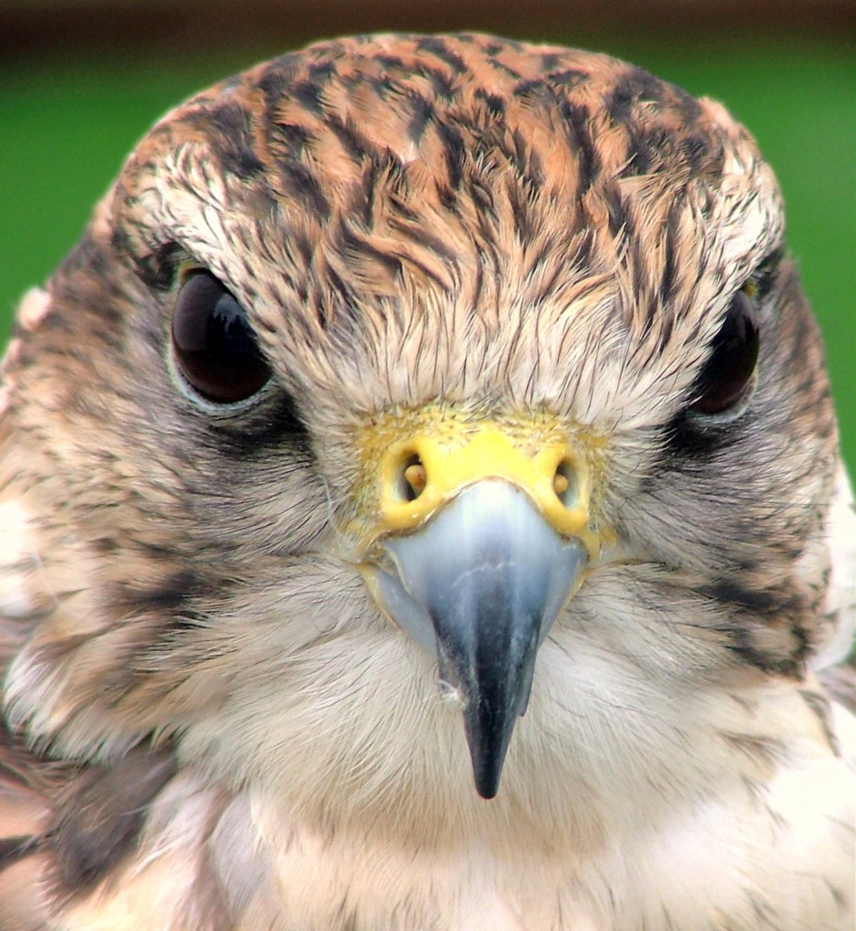 Falcon Portrait, London Brid