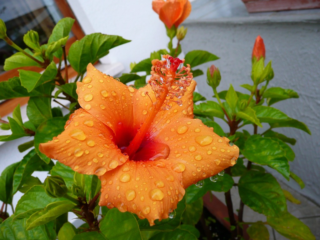 Hibiscus Under the Rain