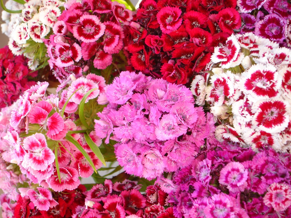 June Flowers - Sweet William