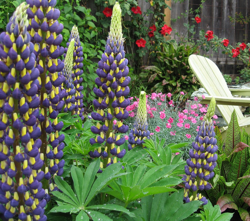 Lupinus 'Thomas Church'
