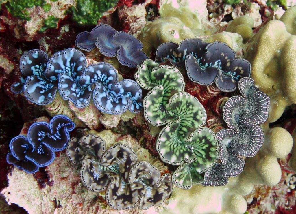 Rare Giant Clams, Kingman Reef