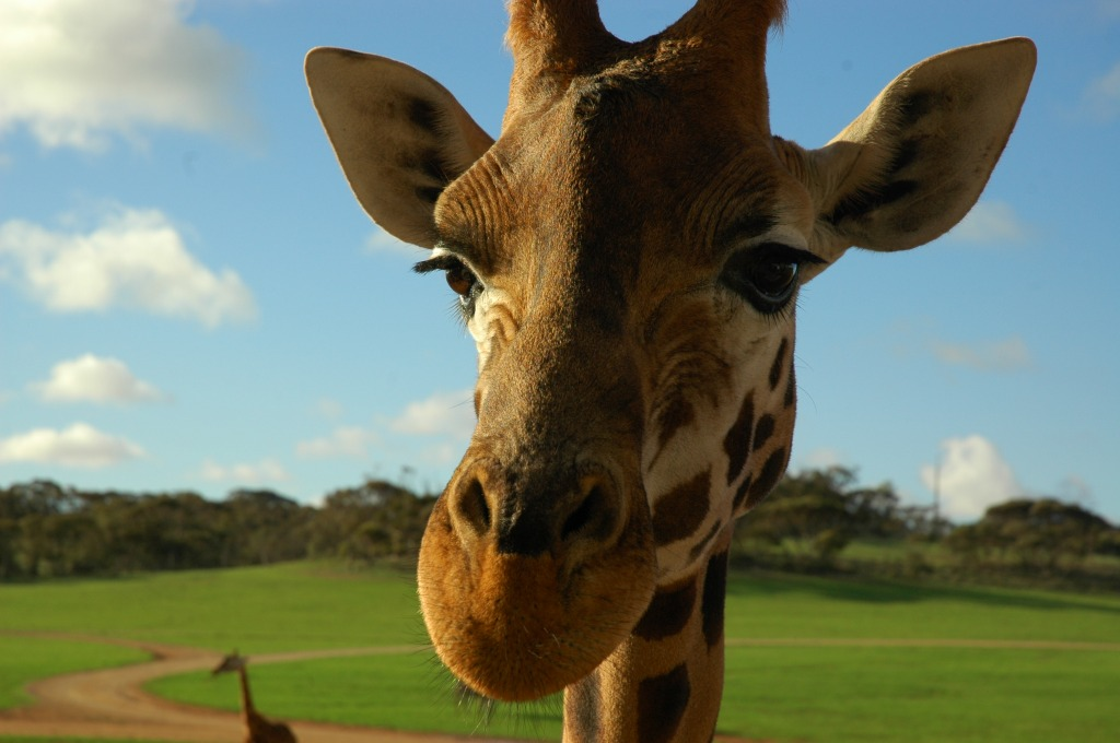 The Giraffe is the Only Animal Born with Horn