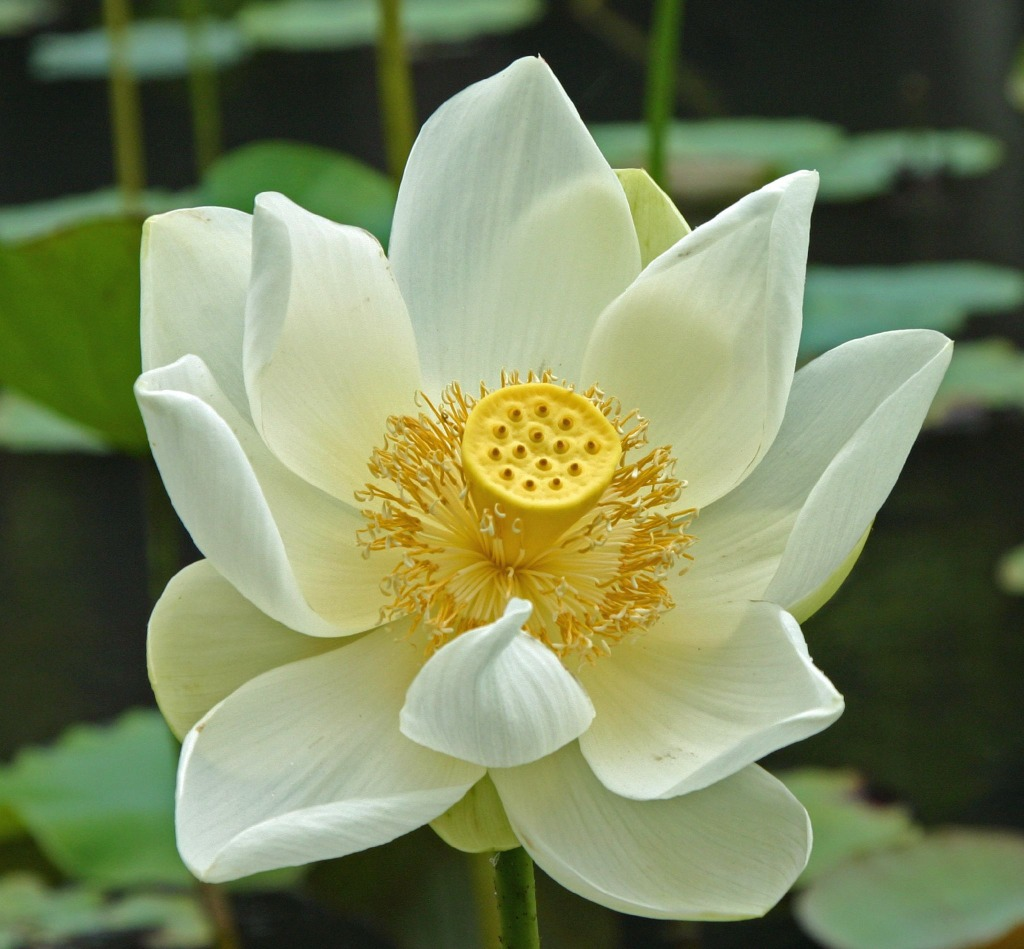 White Lotus Flower in Maurit